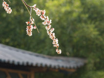 Flowers in spring series: white plum ( Bai mei in Chinese) bloss Royalty Free Stock Images