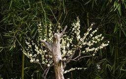 Flowers in spring series: white plum ( Bai mei in Chinese) bloss Stock Photo
