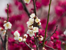 Flowers in spring series: white plum ( Bai mei in Chinese) bloss Royalty Free Stock Photography
