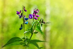 Flowers of spring vetchling, or spring vetch Lathyrus vernus royalty free stock photos
