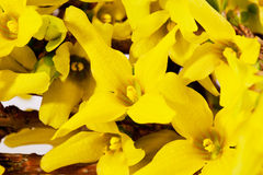 Flowers of spring yellow  forsythia close up Royalty Free Stock Images