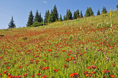 Flowers and spruces. In northern tien shan Stock Images