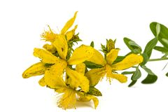 Flowers  of St. John's wort (Hypericum perforatum), isolated on. White background Royalty Free Stock Photo