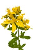 Flowers  of St. John's wort (Hypericum perforatum), isolated on. White background Royalty Free Stock Image
