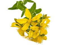 Flowers  of St. John's wort (Hypericum perforatum), isolated on. White background Royalty Free Stock Photos