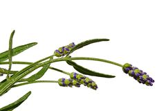 Flowers and stalks of lavender Lavandula Angustifolia on white background Royalty Free Stock Photography