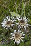 Flowers of Stemless Carline Thistle Royalty Free Stock Image