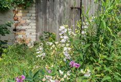 Beautiful wild plants. Flowers and stinging nettles in front of a gray wooden gate Royalty Free Stock Photo