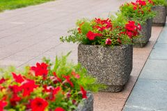 Flowers in stone pots in the city. Flowers in stone pots on the pedestrian path in the city royalty free stock image