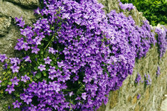 Flowers on wall. An old stone wall covered in violet coloured flowers Stock Photo