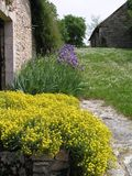 Flowers by a stone wall. Yellow alyssum contrasts with blue iris and white daisies by an old stone farmhouse wall royalty free stock images