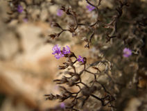 Flowers and stones, Bol, Brac, Croatia Stock Images