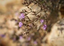 Flowers and stones, Bol, Brac, Croatia Royalty Free Stock Image