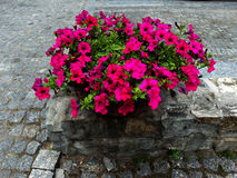 Flowers on the stones. Marvelous violet pink flowers growed on stones Royalty Free Stock Image
