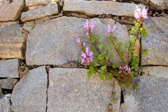Flowers and stones Royalty Free Stock Image