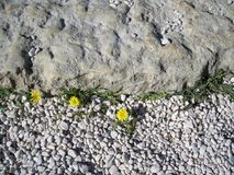 Flowers on stones. Yellow flowers blooming on stones grey ground Royalty Free Stock Image