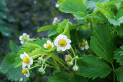 Flowers strawberries. Bush of strawberry with flowers Stock Photo