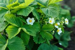 The flowers of strawberries royalty free stock image