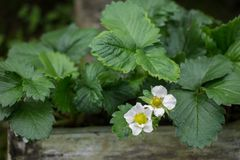 Flowers strawberries in garden Royalty Free Stock Photography