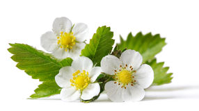 Flowers of strawberry Stock Images