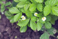 Flowers of strawberry. In the garden Royalty Free Stock Images