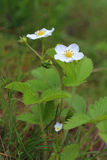 Flowers of strawberry Stock Photography