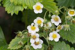 Flowers on the strawberry in nature Stock Photo