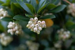 Flowers of a strawberry tree Arbutus unedo. Macro photo of flowers of a strawberry tree Arbutus unedo royalty free stock images