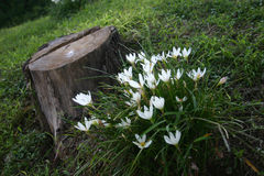 Flowers and stump. The white flower and the stump Royalty Free Stock Image