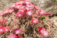 Flowers of succulent plant - Anacampseros Royalty Free Stock Photo