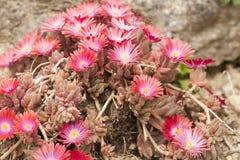 Flowers of succulent plant - Anacampseros Stock Photo