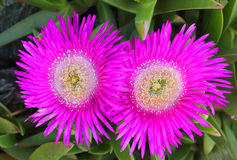 Flowers of a succulent plant. Some flowers of a succulent plant Stock Photos