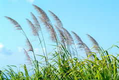 Flowers of sugar cane in the wind Stock Photos