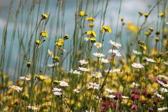 Flowers in the summer. Chamomile flower. Switzerland. royalty free stock images