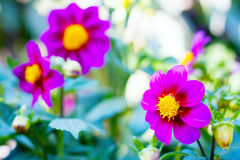 Flowers in summer garden Royalty Free Stock Image
