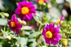 Flowers in summer garden Royalty Free Stock Photo