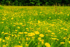 The flowers on the summer meadow Stock Image