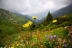 Flowers in summer mountains Stock Photography