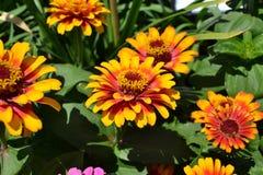 Flowers, Summer, Orange, Yellow Royalty Free Stock Photo