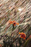 Flowers during a summer rain Stock Image