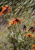 Flowers during a summer rain Royalty Free Stock Photo