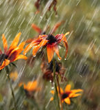 Flowers during a summer rain. Flowers, Rudbeckia during a summer rain Stock Photos