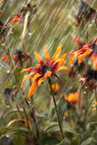 Flowers during a summer rain. Flowers, Rudbeckia during a summer rain Stock Image