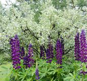 Flowers of summer. Violet Lupin in summer garden Stock Photo