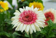 Flowers in summer Royalty Free Stock Photography
