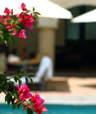 Flowers in the sun. Pink flowers set against a blurred setting of poolside relaxation in Oaxac, Mexico stock image