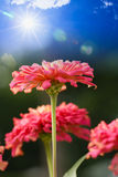 Flowers with sun radiation Stock Images