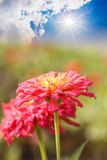 Flowers with sun radiation Stock Photography
