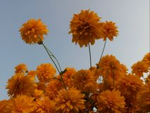 Flowers. Sun flowers in the summer day Royalty Free Stock Images