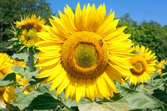 Flowers of sunflower оn the field Royalty Free Stock Images